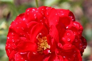 Le temps d'une rose